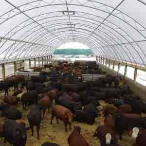 50' x 300' Beef Barn Feedlot