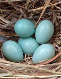 Starling also british birds  eggs bird lovers rh britishbirdlovers