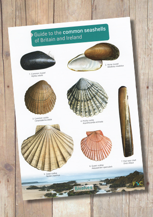 Common Seashells of Britain and Ireland