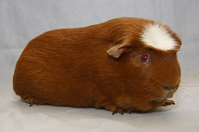 British Cavy Council  Crested Cavy Club