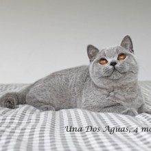 Criadero especializado en British Shorthair