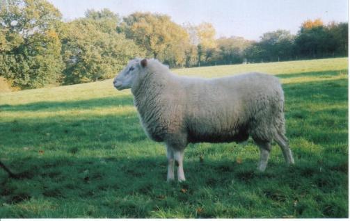 British Milksheep HAR 04047