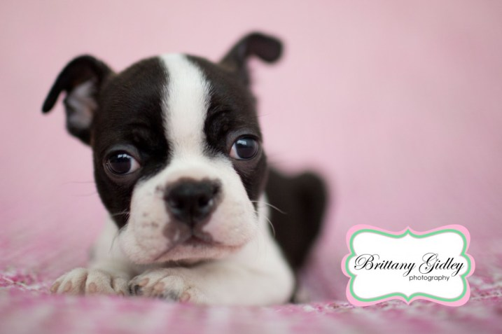 Baby Boston Terrier | Brittany Gidley Photography LLC