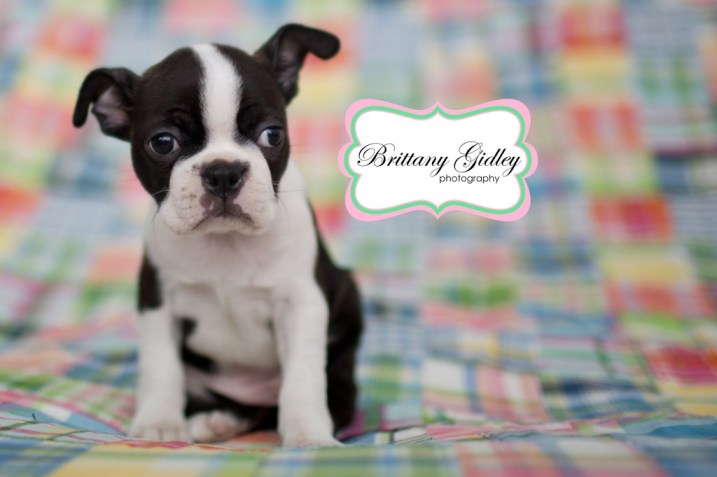 Boston Terrier | Brittany Gidley Photography LLC