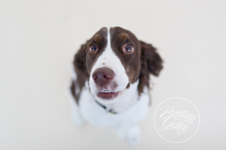 English Springer Spaniel | Furbaby | Pet Photography | Pet Portrait Photography | Pet Pictures | Dog Pictures