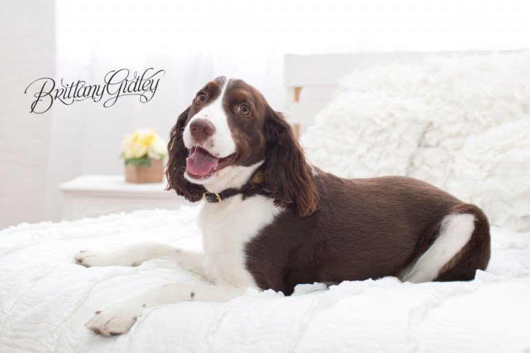 English Springer Spaniel | Furbaby | Pet Photography | Pet Portrait Photography | Pet Pictures | Dog Pictures | Cleveland