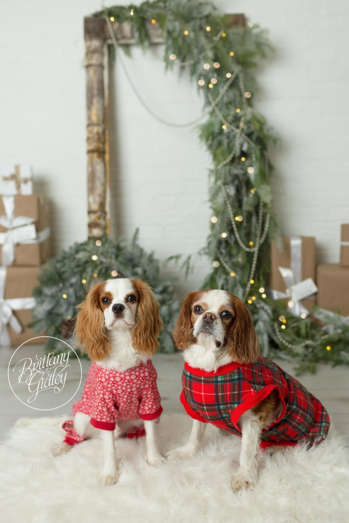 Sparkle and Shine Studio Mini Sessions | Studio Mini Session Ideas | Cavalier King Charles Spaniel | The best dog Christmas Cards