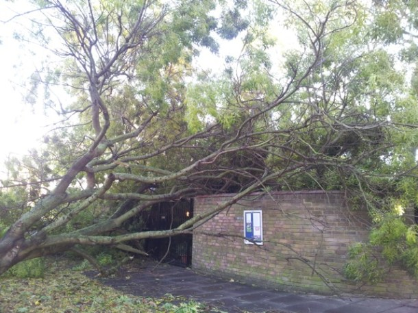 TOPPLED: An ash tree on the Cressingham gardens estate. Pic by Gerlinde Gniewosz