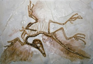 Archaeopteryx-fossil-004