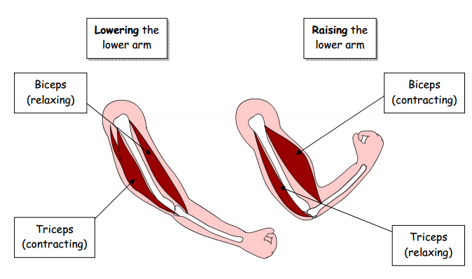 Year 3 Muscles