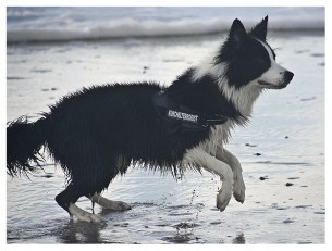 Border Collie am Strand in Dänemark