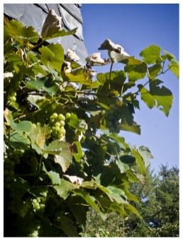 Wo Zwetschgen zwei Jahre brauchen um zu reifen erntet man eben Wein