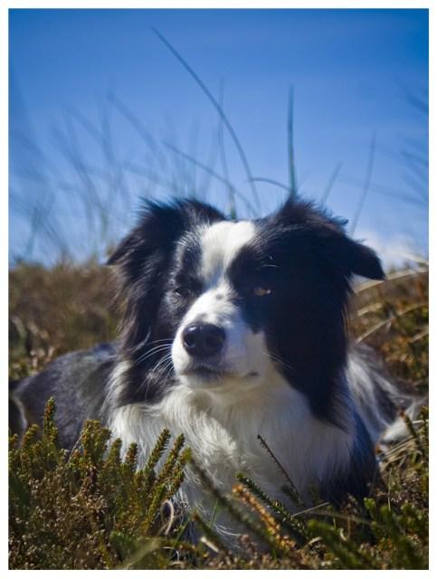 13|05|2012 – Hund im Heidekraut vor blauem Himmel, oder so …