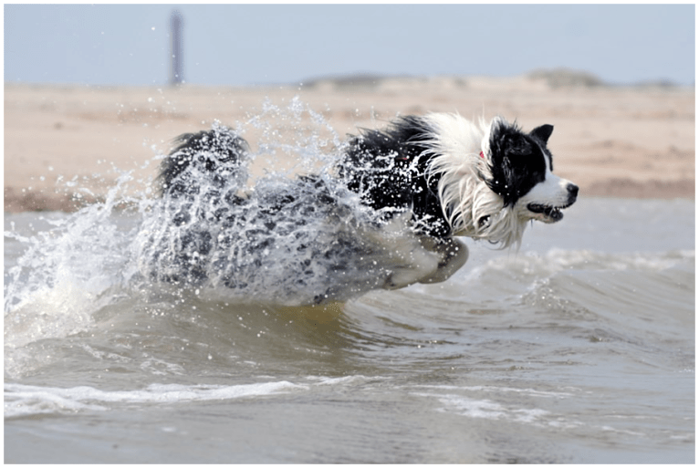 Joey (Broadmeadows Black Diamond) im Sommerurlaub auf Norderney
