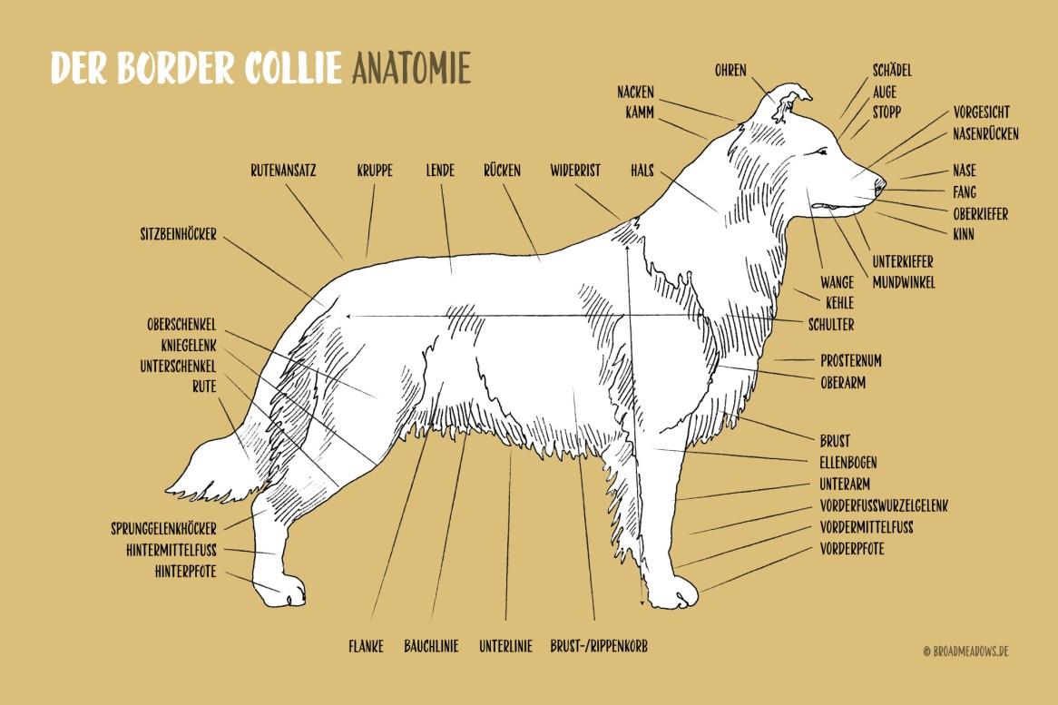 Anatomische Zeichnung eines Border Collies