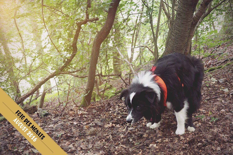 Border Collie Hündin Zoe bei der Morgentoilette im Wald