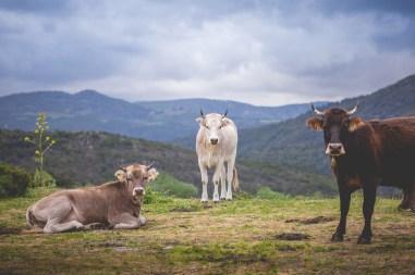22|05|2018 – Wegelagernde Kühe