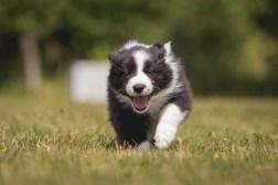 7 Wochen alte Border Collie Welpen auf dem Hundeplatz des HSV Hof im Westerwald