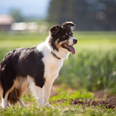 Border Collie in black/white tan