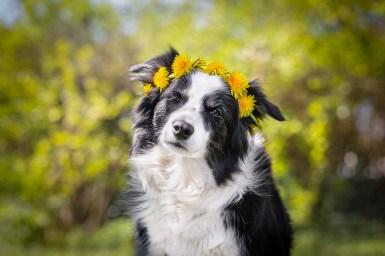 Border Collie Hündin mit Blumekrone