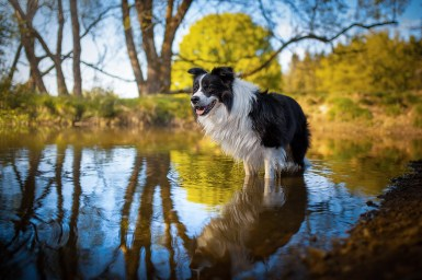 Border Collie im Fischteich