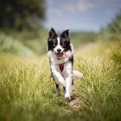 Border Collie Junghündin