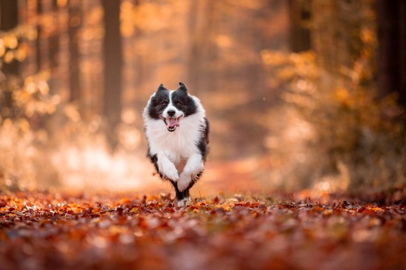 Border Collie Rüde