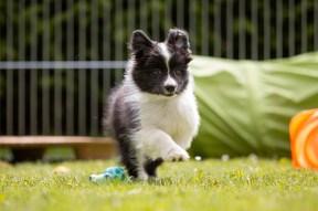 Border Collie Welpen, zehn Wochen alt