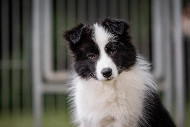 Border Collie Welpe, 13 Wochen alt