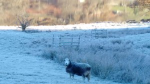 frosty-sheep-rydal