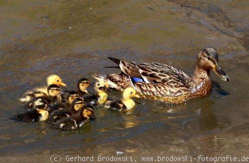 Enten  Entenarten bestimmen Wildenten Entenvgel