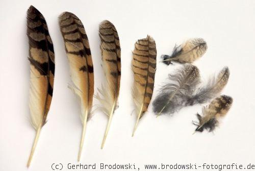 Die Vogelfeder  Federn bestimmen Federkleid Aufbau Bilder