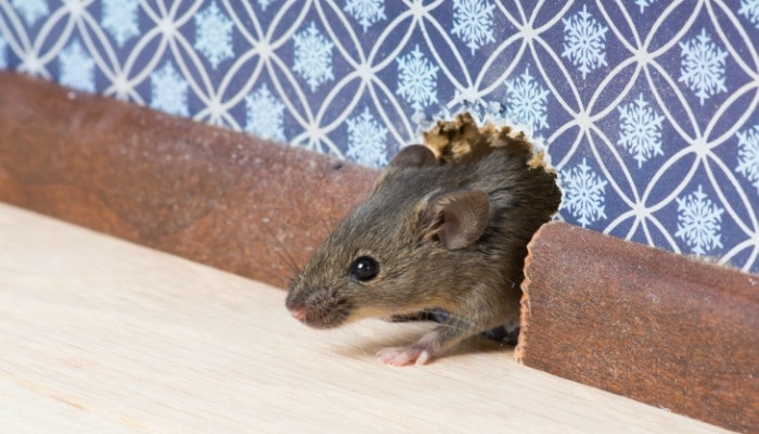 House Mice vs. Deer Mice - How to Identify, Remove & Prevent Mice