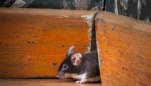 House Mice vs. Deer Mice - How to Identify, Remove & Prevent Mice