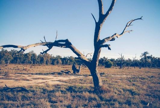 Ringbarked tree