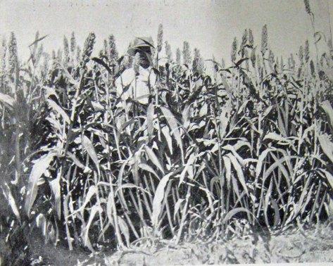 Sorghum (called Kaffir Corn at the time).