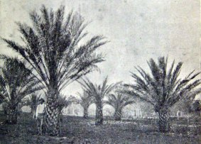 Date Palm plantation. Staff trialed these in the second phase after other produce failed. These were more suited to the climate.
