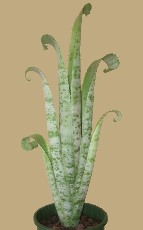 Bromeliads In Australia Quesnelia Marmorata