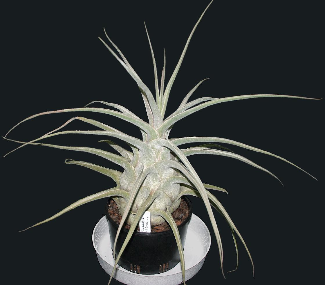 Bromeliads in Australia  Tillandsia ehlersiana