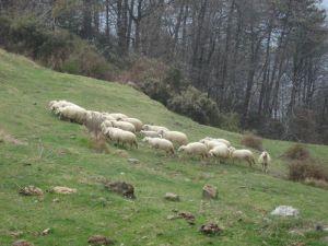 45 pecore al pascolo