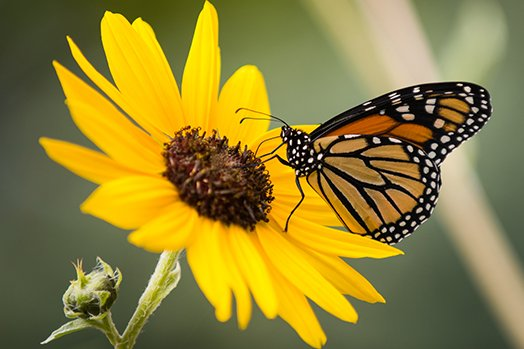 wave_hill_fap_-_print_and_fly_with_monarch_butterflies_credit_joshua_bright.jpg__524x349_q85_crop_upscale