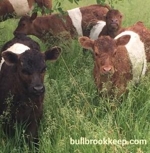 BueLingo calves