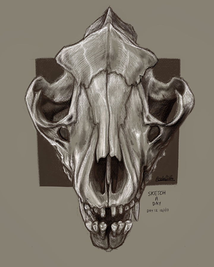 Thylacine skull sketch based on own ref photo - Procreate app on iPad pro