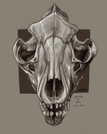Thylacine skull sketch based on own ref photo - Procreate app on iPad pro