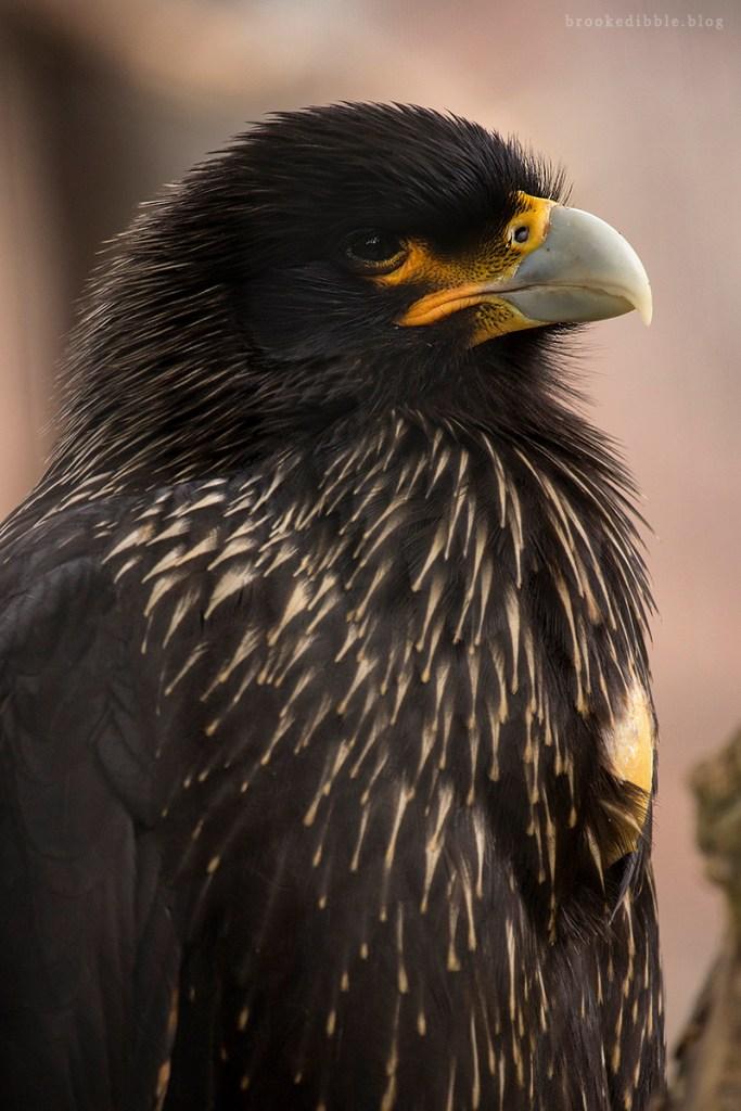 Hawk at ZSL London Zoo