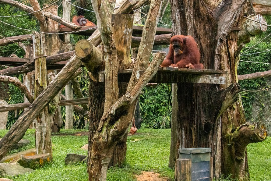 Orangutans | Singapore Zoo | Nov 2018