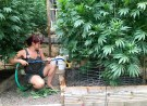 Worker waters marijuana plant