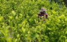 A peasant walks among coca crops in Cauca, Colombia, January 27, 2017. Picture taken January 27, 2017. REUTERS/Jaime Saldarriaga - RC1258D3C600