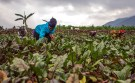 Assoumpata Uwamariya works on a beetroot farm in Rubavu district, Western province, Rwanda October 3, 2018. Pictures taken October 3, 2018. REUTERS/Jean Bizimana - RC1C11560B50