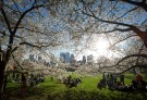 People gather near cherry trees in full blossom in Central Park in New York April 20, 2014. REUTERS/Carlo Allegri (UNITED STATES - Tags: SOCIETY ENVIRONMENT) - GM1EA4L0PK001